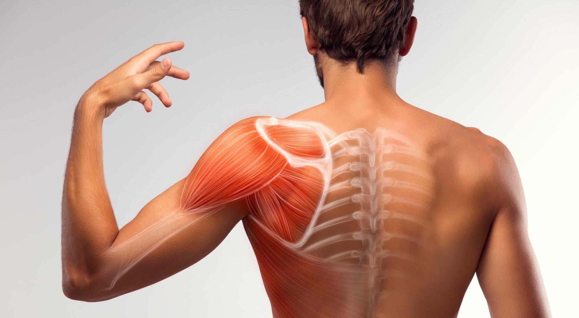 Músculos Del Cuerpo Humano Menzig