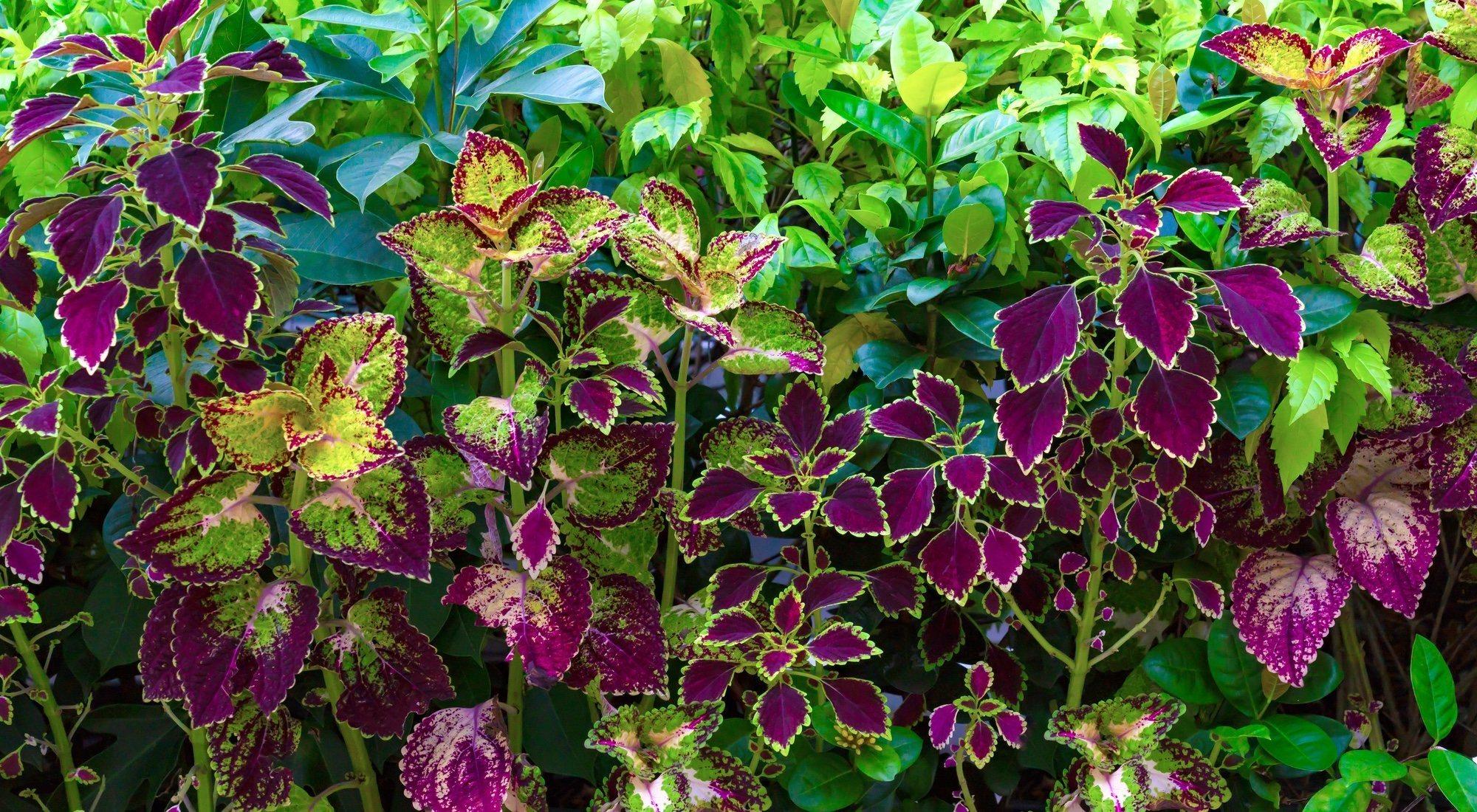 Que planta natural es buena para adelgazar