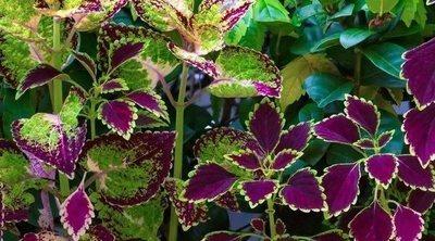 Forskolina, una planta para adelgazar ¡conócela más!