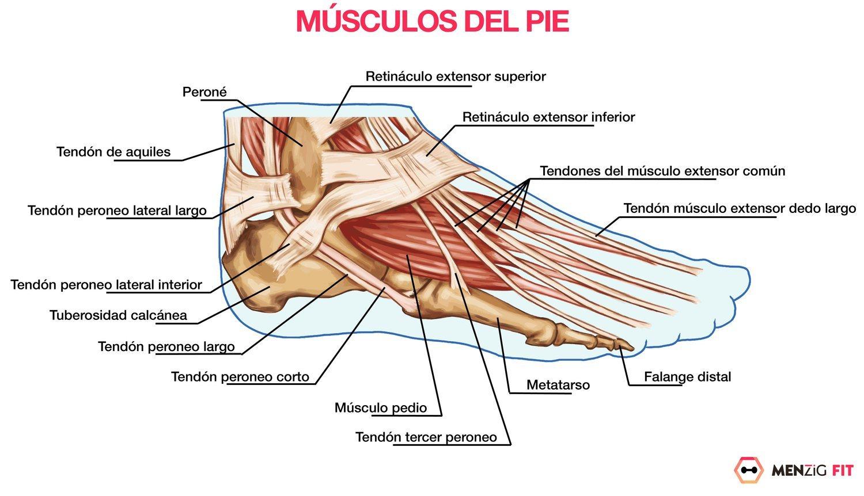 Los principales músculos del pie